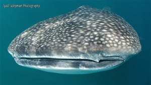 Face to face with Whale shark by Iyad Suleyman